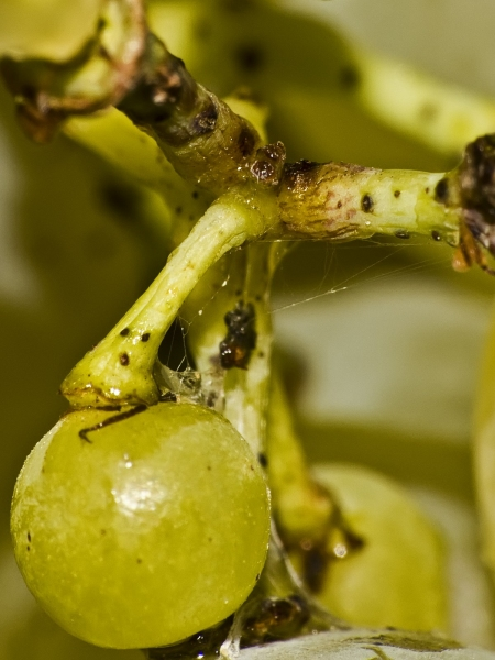 Grapes – close-up